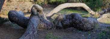 Pinheiro Serpente