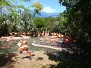 Flamingoes Bermuda Zoo