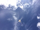 Bermuda Longtail  (image: HCL)