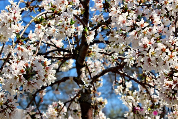 Cherry Tree and Spring Garden Tour by coconutheadsurvivalguide.com