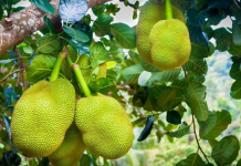 Jackfruit as Kerala's official fruit