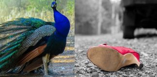 kerala peacock accident