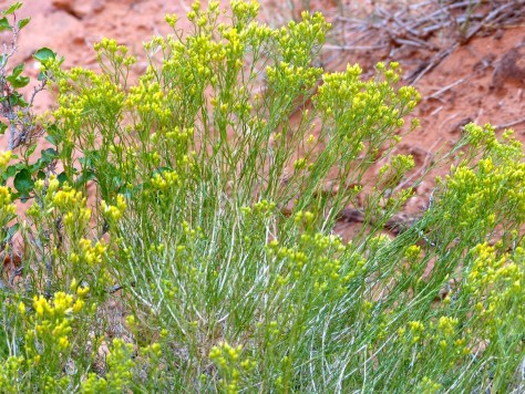 Wildflowers in Arches National Park