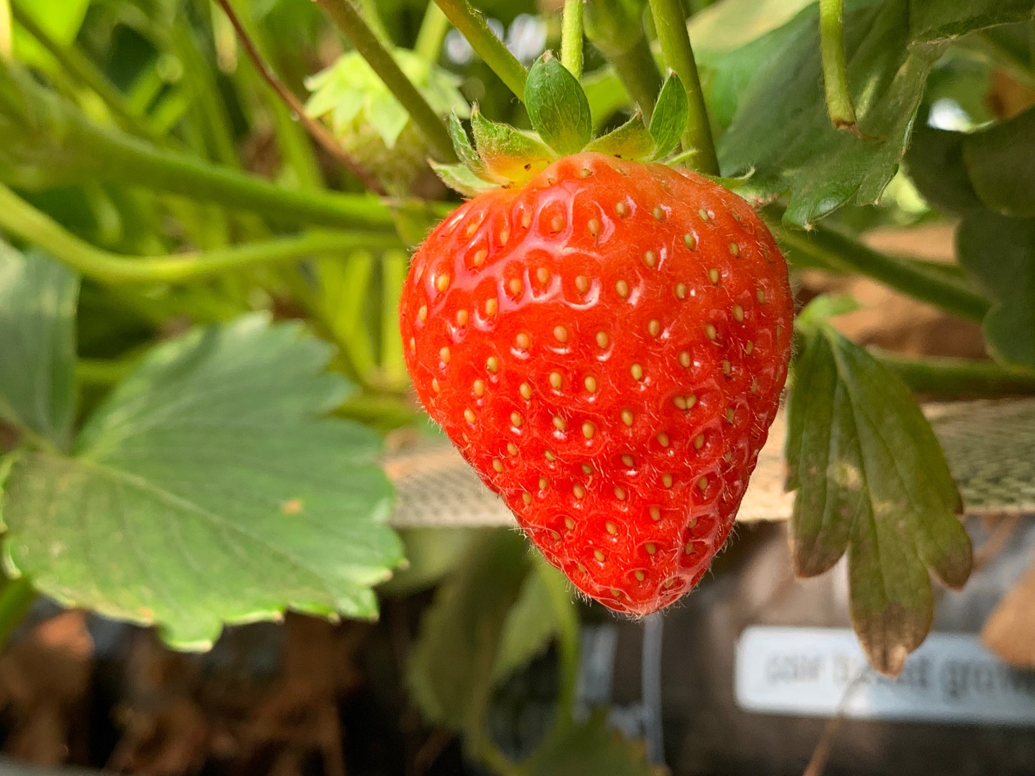 juicy red strawberry growing on a plant