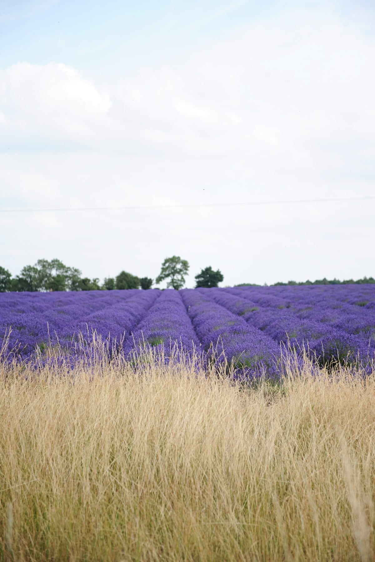 Snowshill Cotswolds Lavender Farms