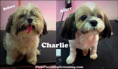 before after charlie shih tzu