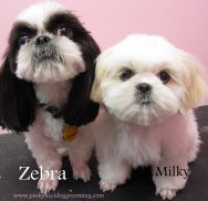 Zebra and Milky the shih tzu