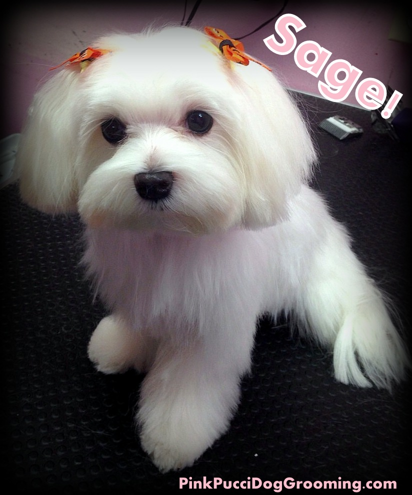 Sage The Maltese Pink Pucci