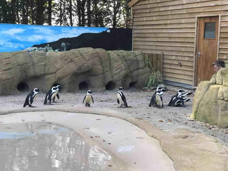 Penguin feeding at Paradise Wildlife Park