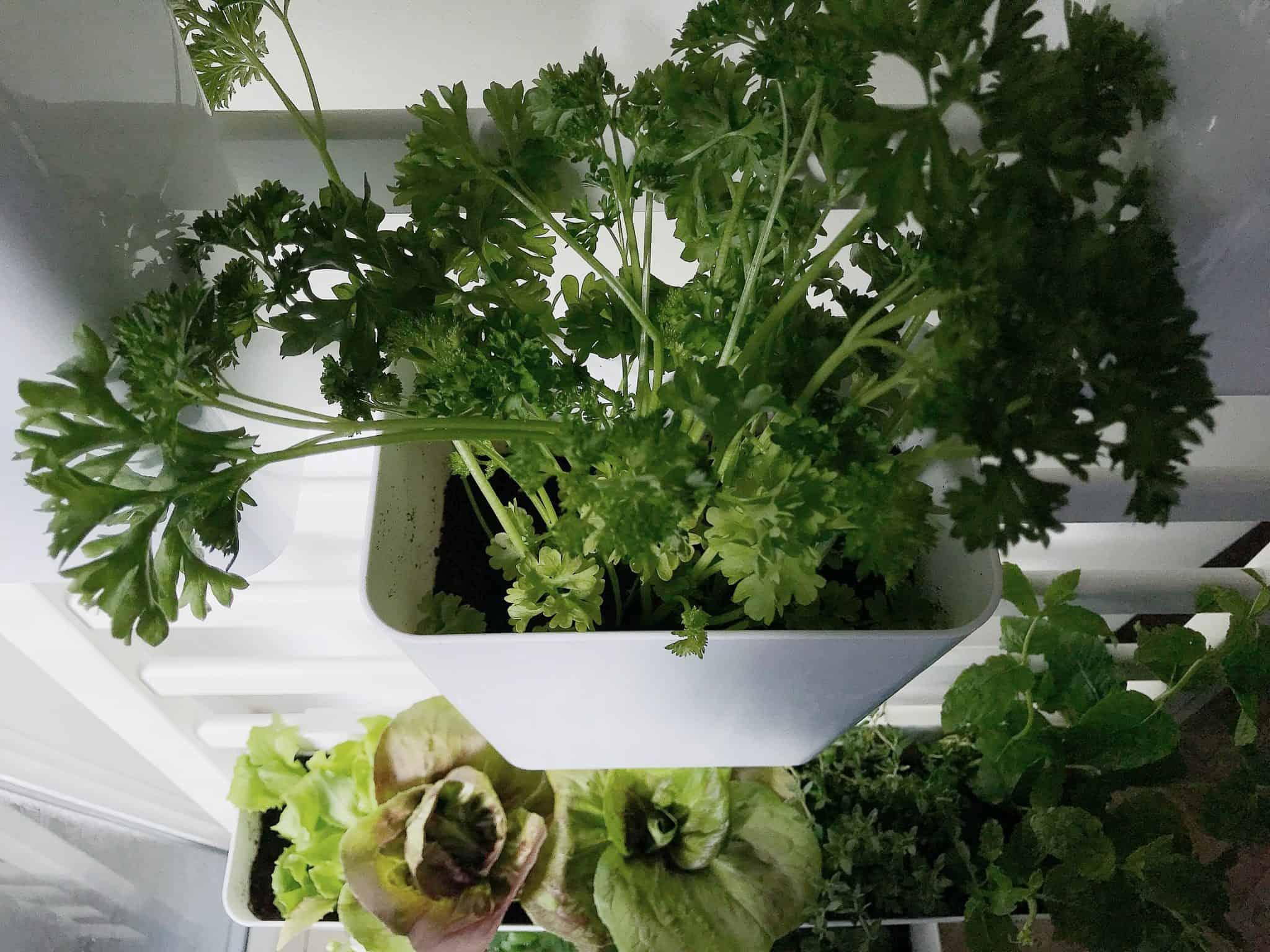 Parsley in an indoor edible garden
