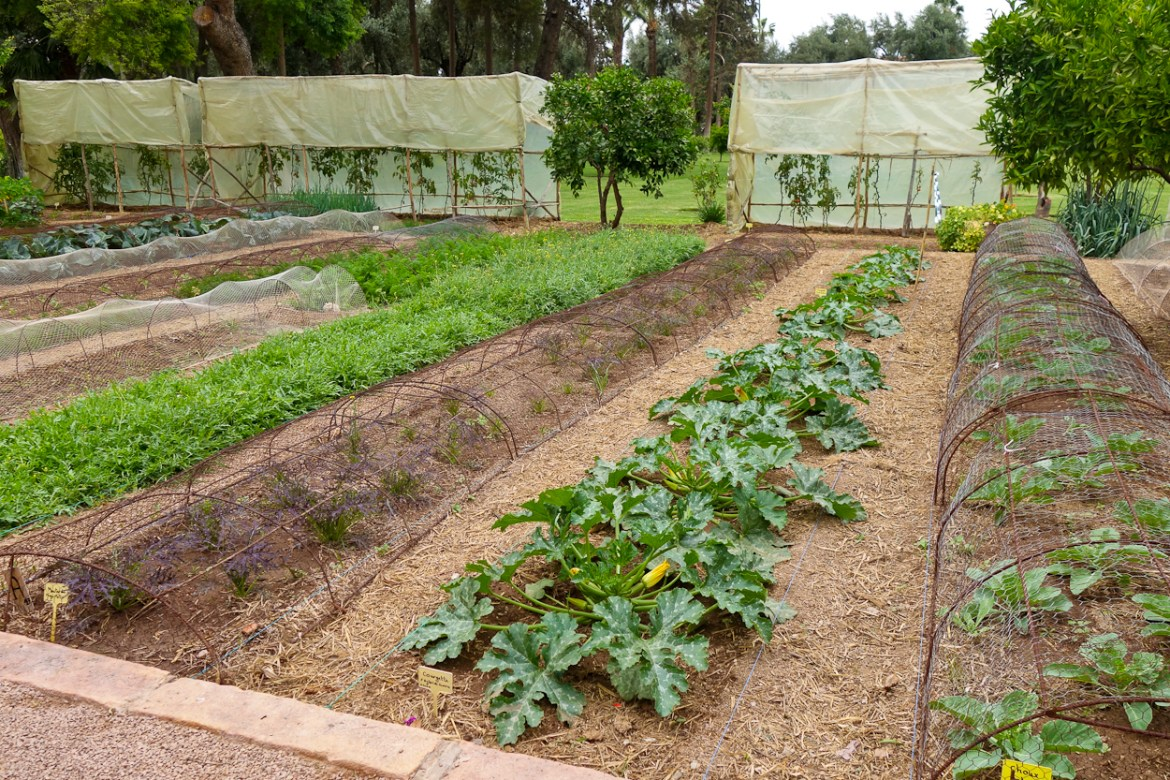 Vegetables growing in the kitchen garden at La Mamounia, Marrakech