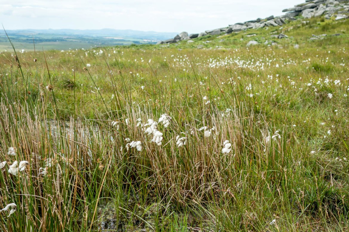 Wildflowers on Bodmin Moor, Cornwall