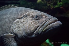 A black grouper at the National Aquarium in Baltimore Maryland.