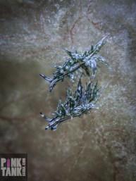 LOGO Pair Aplysiopsis formosa