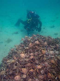 Spider Crab Pyramid with Great White