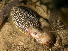 Cuttlefish Zebra Logo
