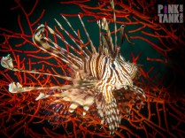 LOGO Lionfish Landscape Against Red