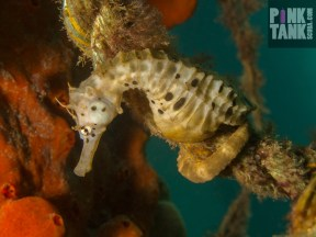LOGO Seahorse Stare Down on Rope