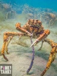 LOGO Spider Crab eating Javelin Pipefish