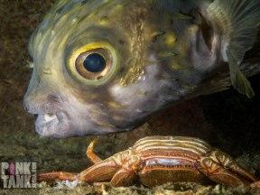 LOGO Globefish and Dead Crab