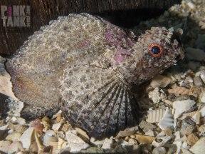 LOGO Whole Goblinfish at Rye