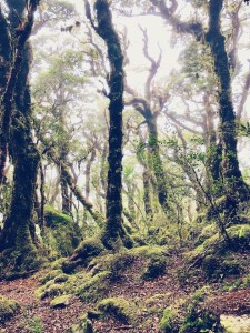 Fairytale Forest New Zealand, trees in the fog