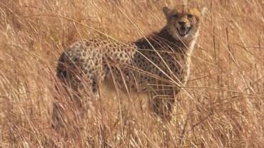 The official Pinnon cheetah