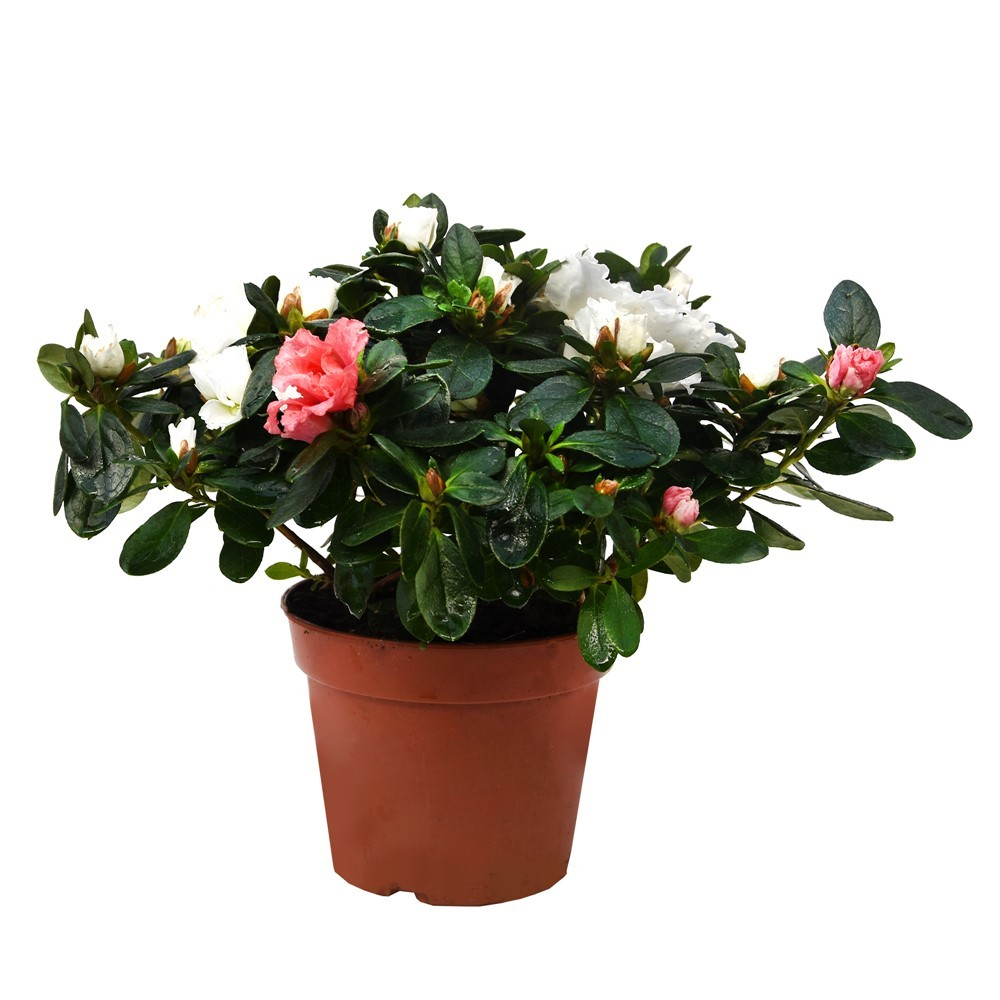 Lule Rhododendron v.14 h.40 334532