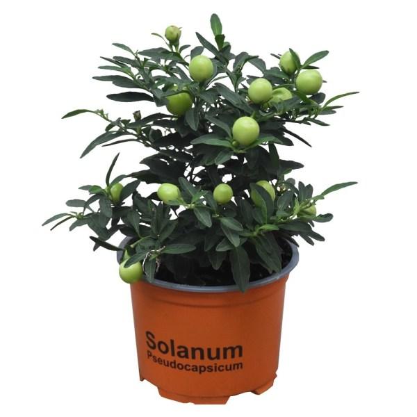 Lule Solanum pseudocapsicum v.10 h.28 332314