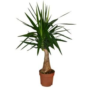 Lule Yucca v.21 h.80 331677