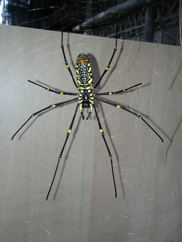 orb-weaver-spider-4