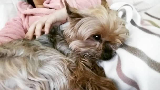 Good night ! yorkie goodnight socute doglife