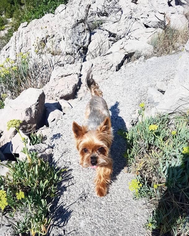 My beautiful Bubi baby  yorkie yorkshirreterrier socute dog beachhellip