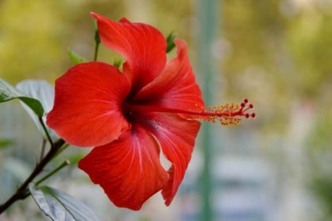 9 Manfaat Bunga Rosella dan Cara Mengolahnya
