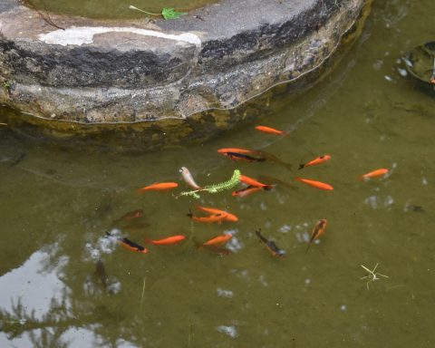 Orange goldfish swimming together in the Lily Pond