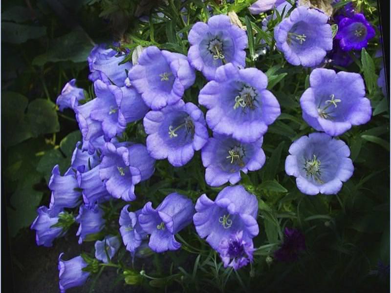 JARDIN graines RARE exot pluriannuelle fleur vivace Cure-Dent-Plante