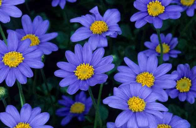 25 Types of Flowers to Plant for Summer   Summer Flowers   Total     Enjoy the blue Aster flower in your summer flowerbed