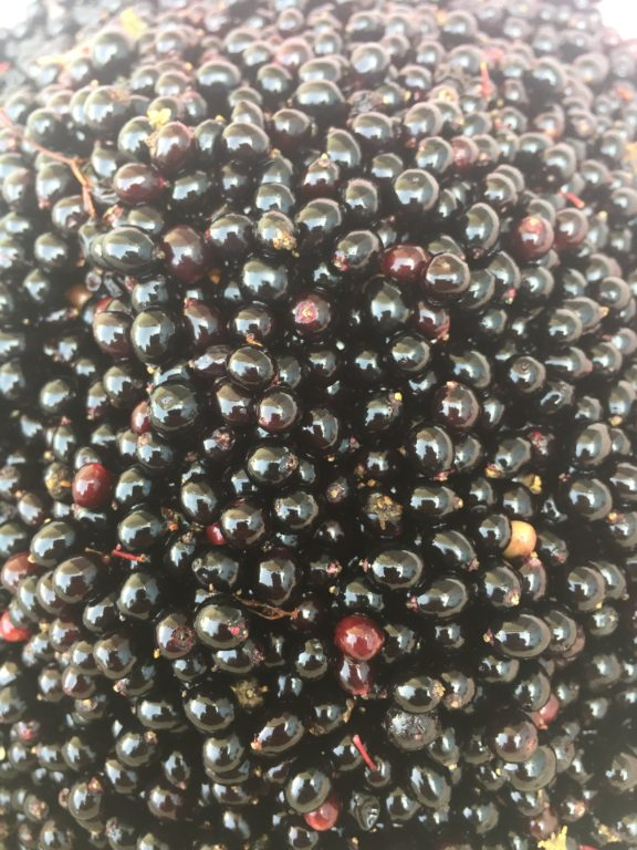 Elderberries - Foraging - Preserving - Bushcraft - Pippin & Gile