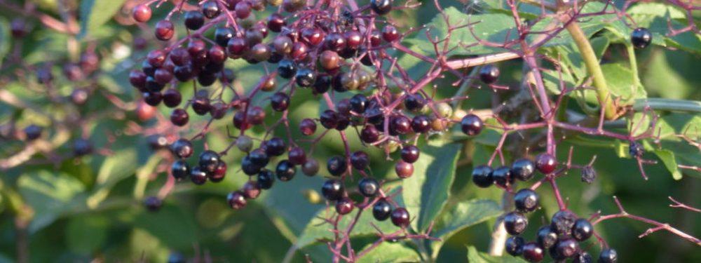 Elderberries - Autumn Foraging - Pippin and Gile Bushcraft