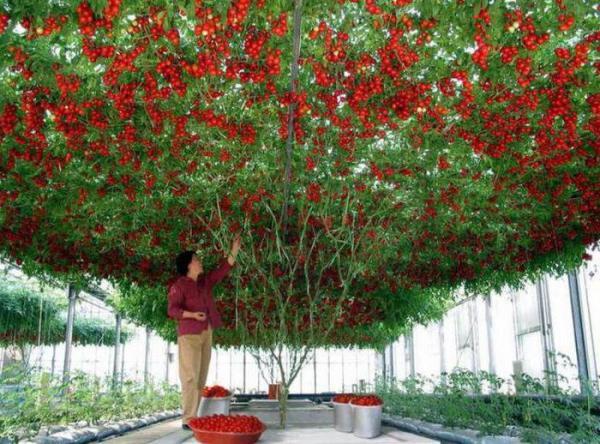 Спрут томат дерево – выращивание и уход в открытом грунте ...