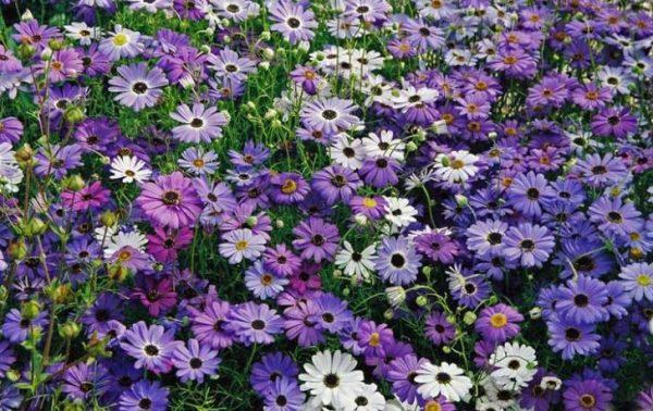 Цветы фото для дачи однолетние: 100 фото и названия ...