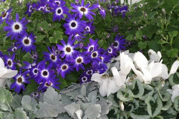 Фото однолетние цветы для дачи: 100 фото и названия ...
