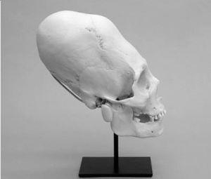 """Cráneo llama do """" Elongatus Australianus"""""""