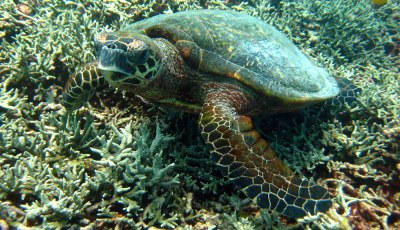 Hawksbill Turtle on the Similan Islands number 8