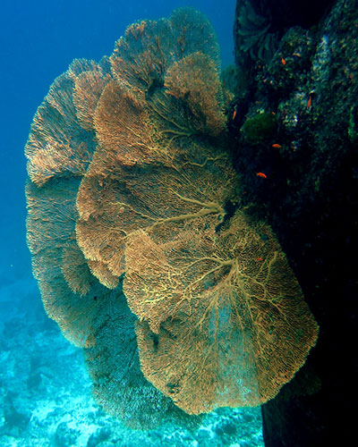A Sea Fan underwater at the Similan Islands