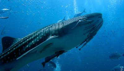 Whale shark at Ko Tachai