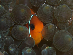 Nemo - Similan liveaboards