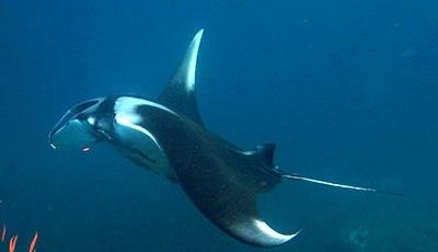 A Giant Manta Ray at Ko Bon