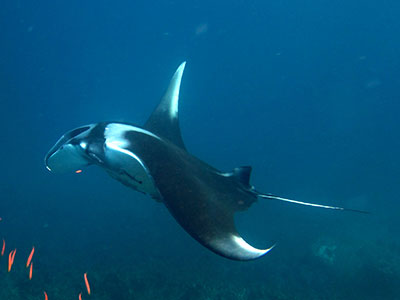 A Giant Manta Ray at Ko Bon