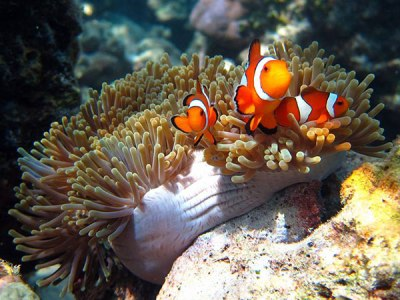 western clown fish also known as Nemo
